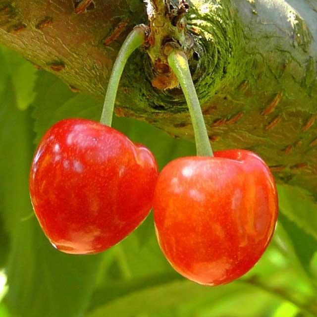 Alberi da frutto in vaso