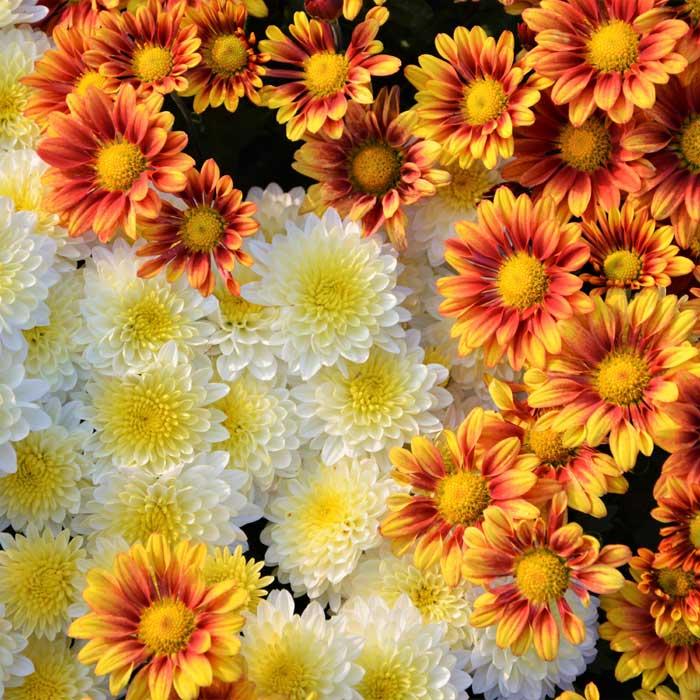 Chrysanthemum o Crisantemo