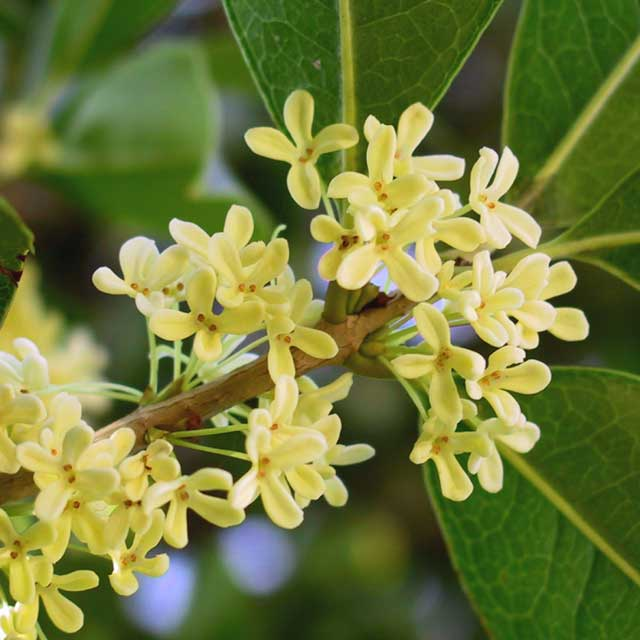 Osmanthus o Olea fragrans