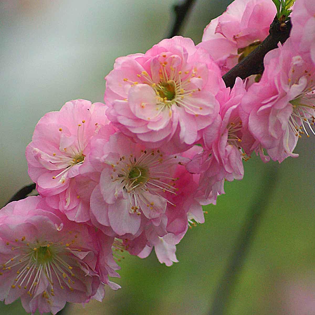 Prunus triloba (Mandorlo da fiore)