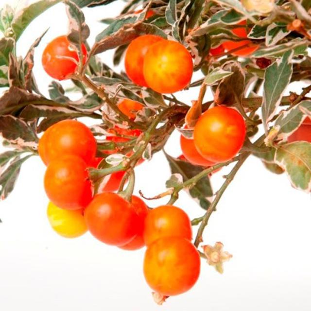 Solanum capsicastrum