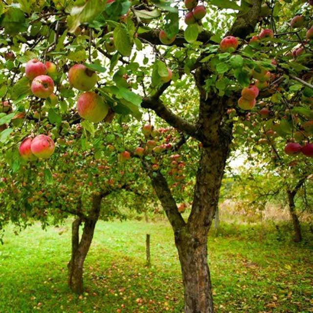 Consigli per la messa in dimora dell'albero da frutto
