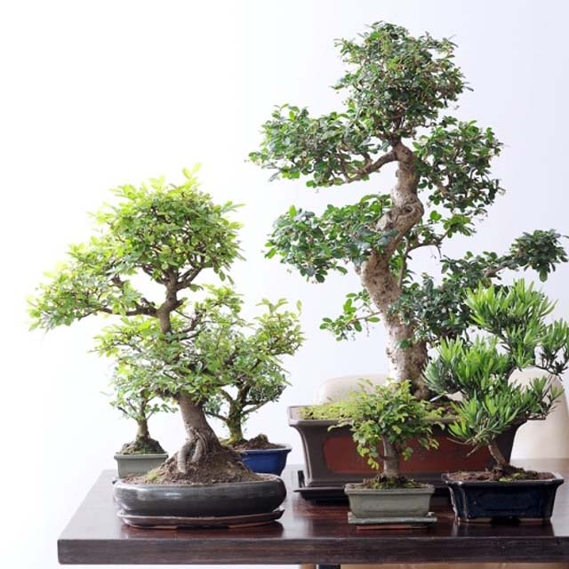 I bonsai facili