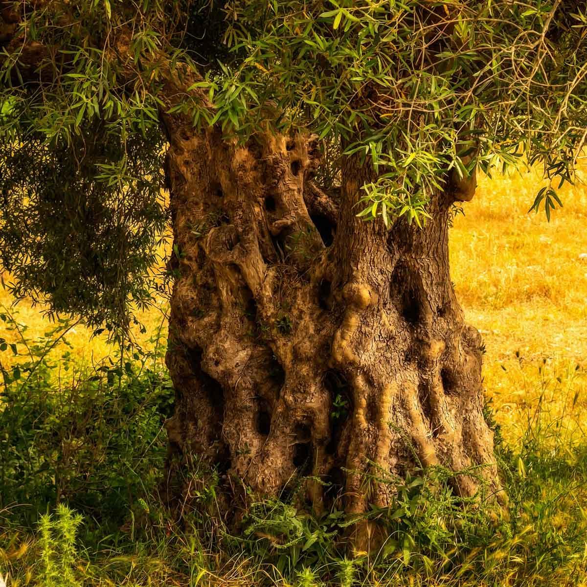 La coltivazione dell'olivo: suggerimenti