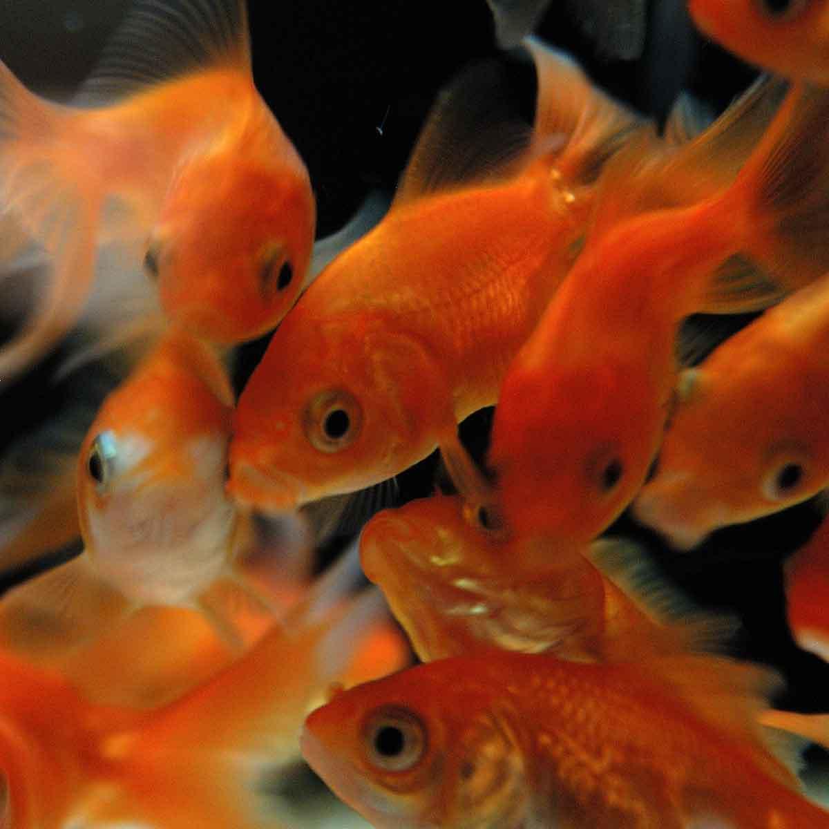 Il pesce rosso: facile gestione e poche pretese