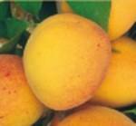 albicocco tyrinthos