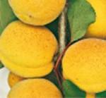 albicocco palummella