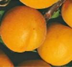 albicocco san castrese