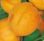 albicocco luizet