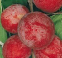 Pericallis hybrida cineraria for Viridea catalogo arredo giardino