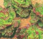 lattuga rossa carioca