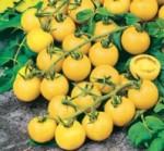 pomodoro ciliegia giallo dolce