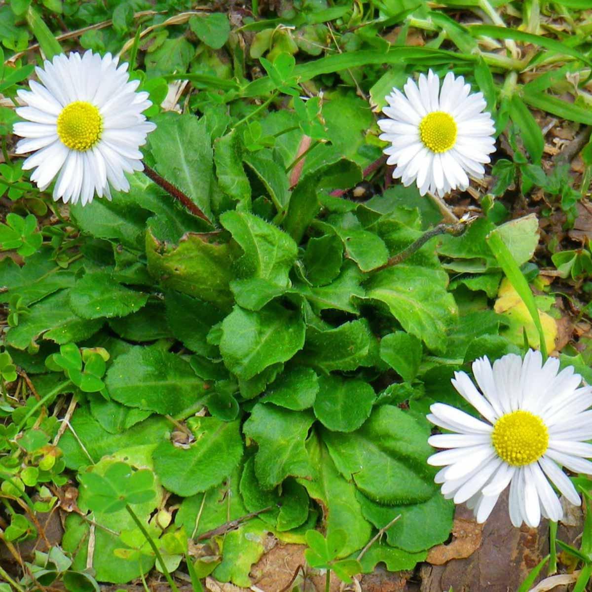 Pratolina, fiori incantevoli