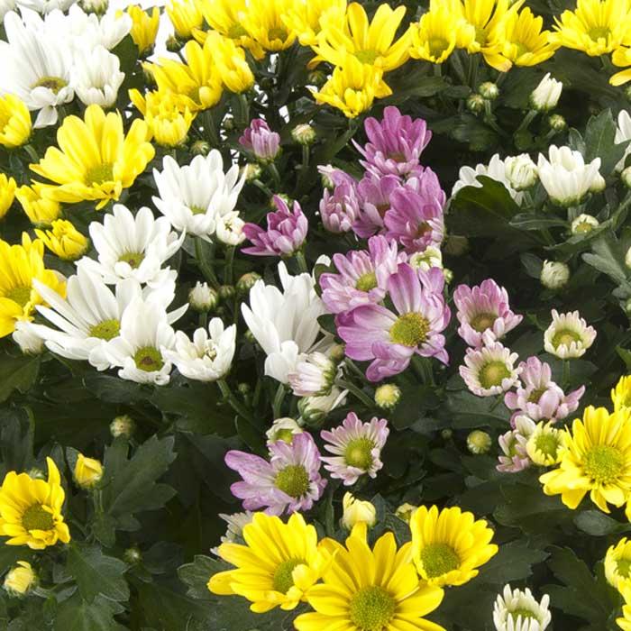Crisantemo Bicolor
