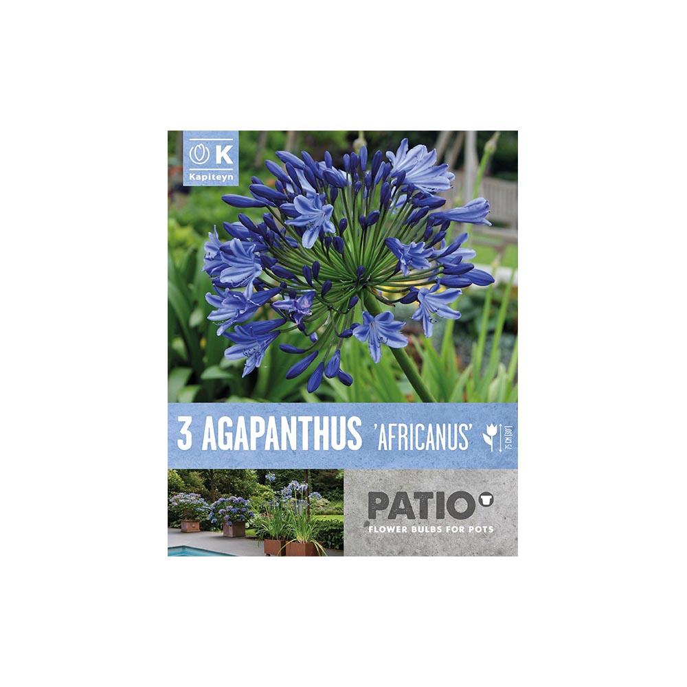 Agapanthus 'Africanus' (3 rizomi)