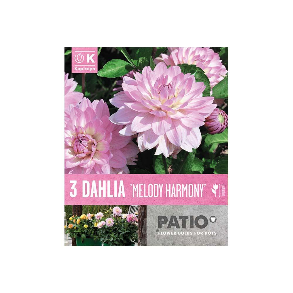 Dahlia 'Melody Harmony' (3 tuberi)