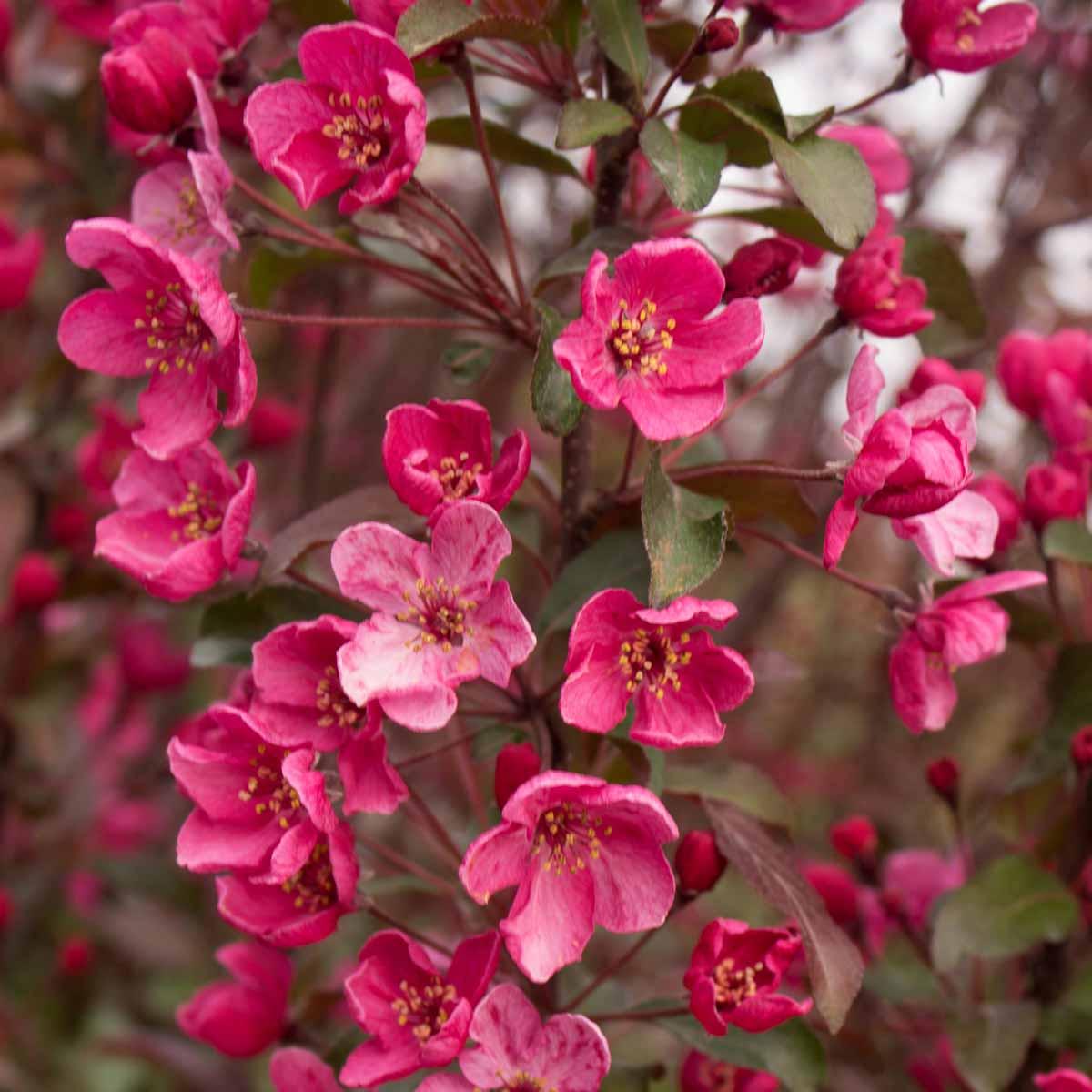 Melo da fiore (Malus) in varietà