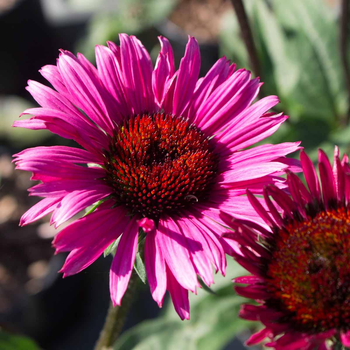Echinacea in varietà