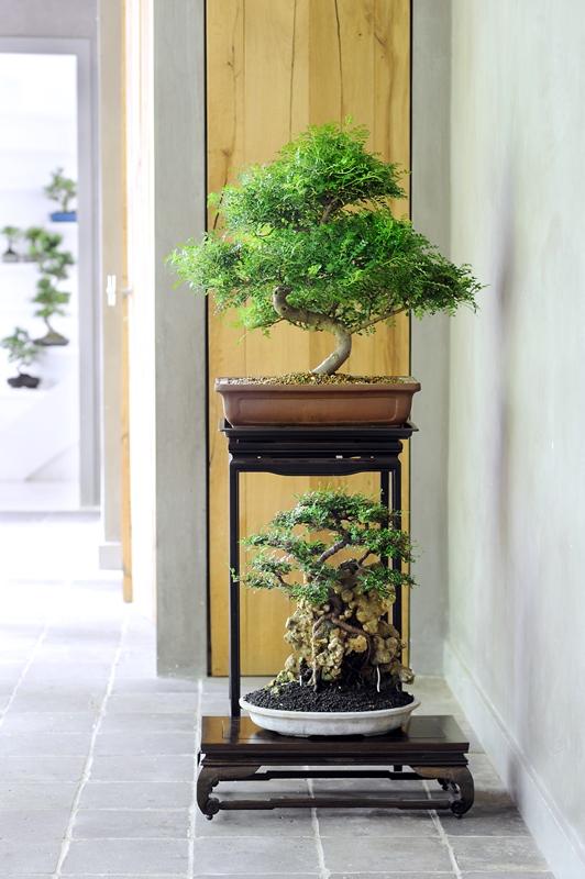 Il bonsai, tra natura e arte