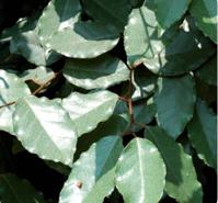 Elaeagnus ebbingei