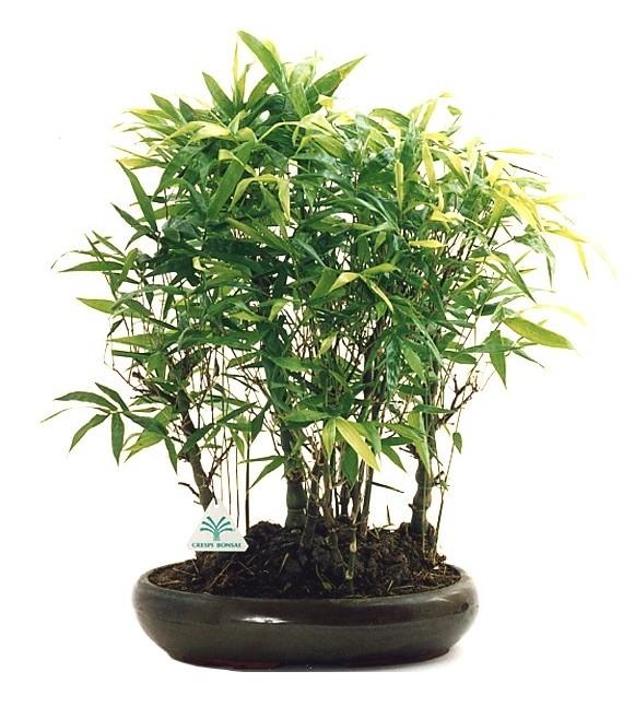 Vendita Bambu Milano.Bambu Viridea