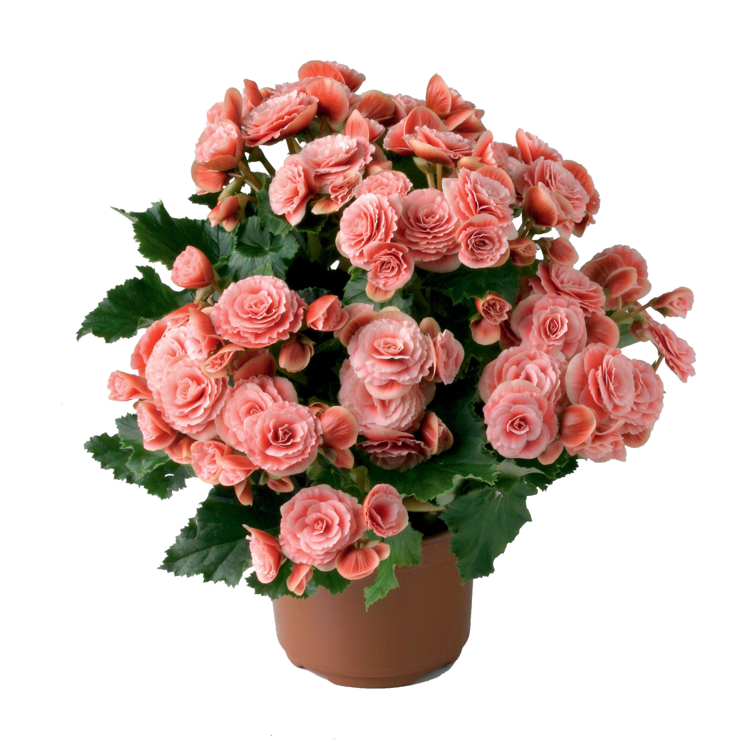 Begonia Elatior 3 piante in vaso