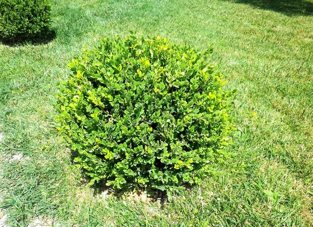 Bosso, il sempreverde ornamentale