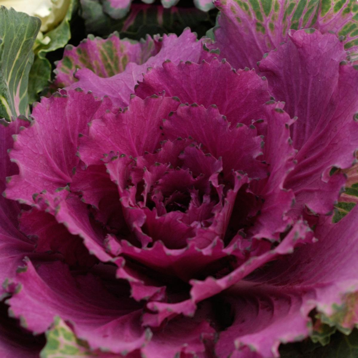 Brassica oleracea (Cavolo ornamentale)