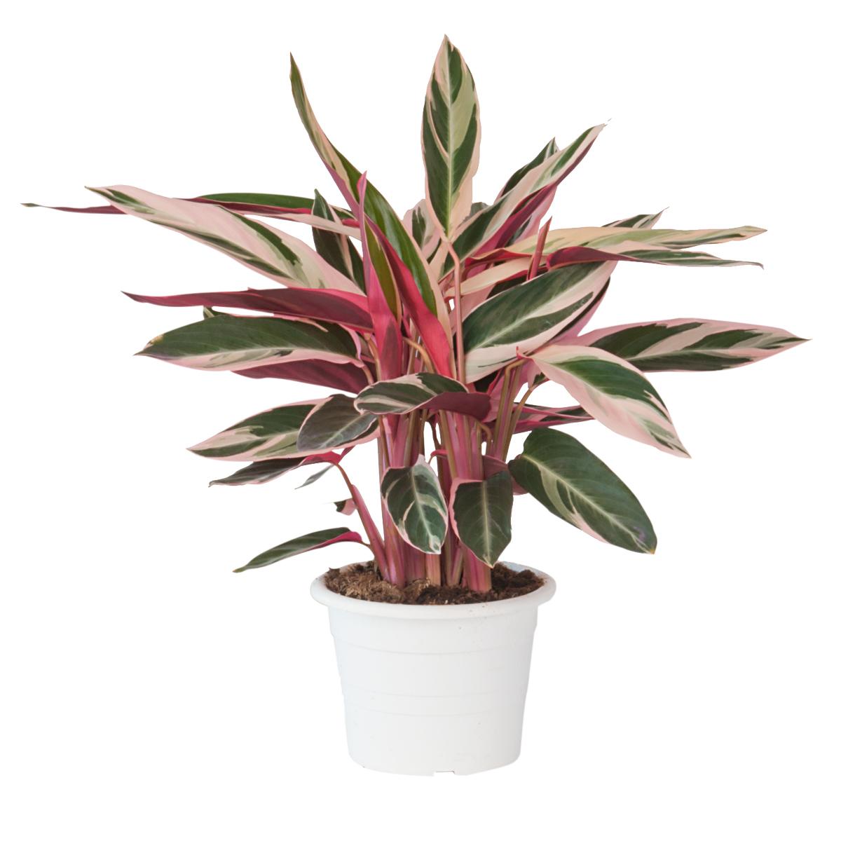 Calathea in varietà