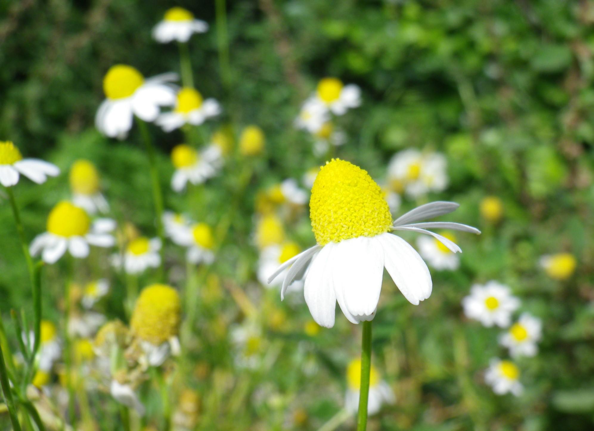 Camomilla, profumo e proprietà sedative
