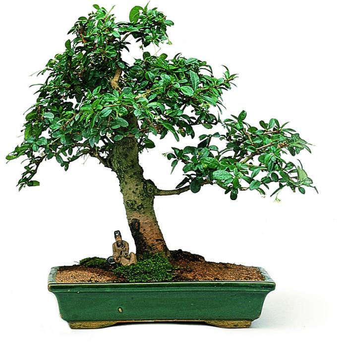 Carmona l'albero del tè