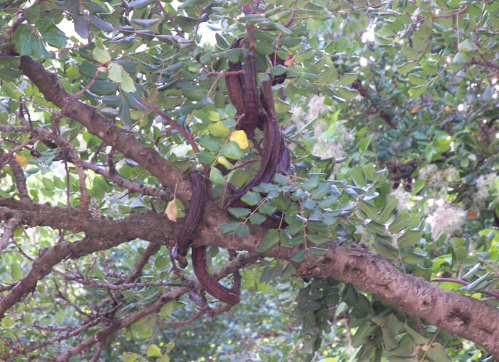 Carrubo, pianta sempreverde
