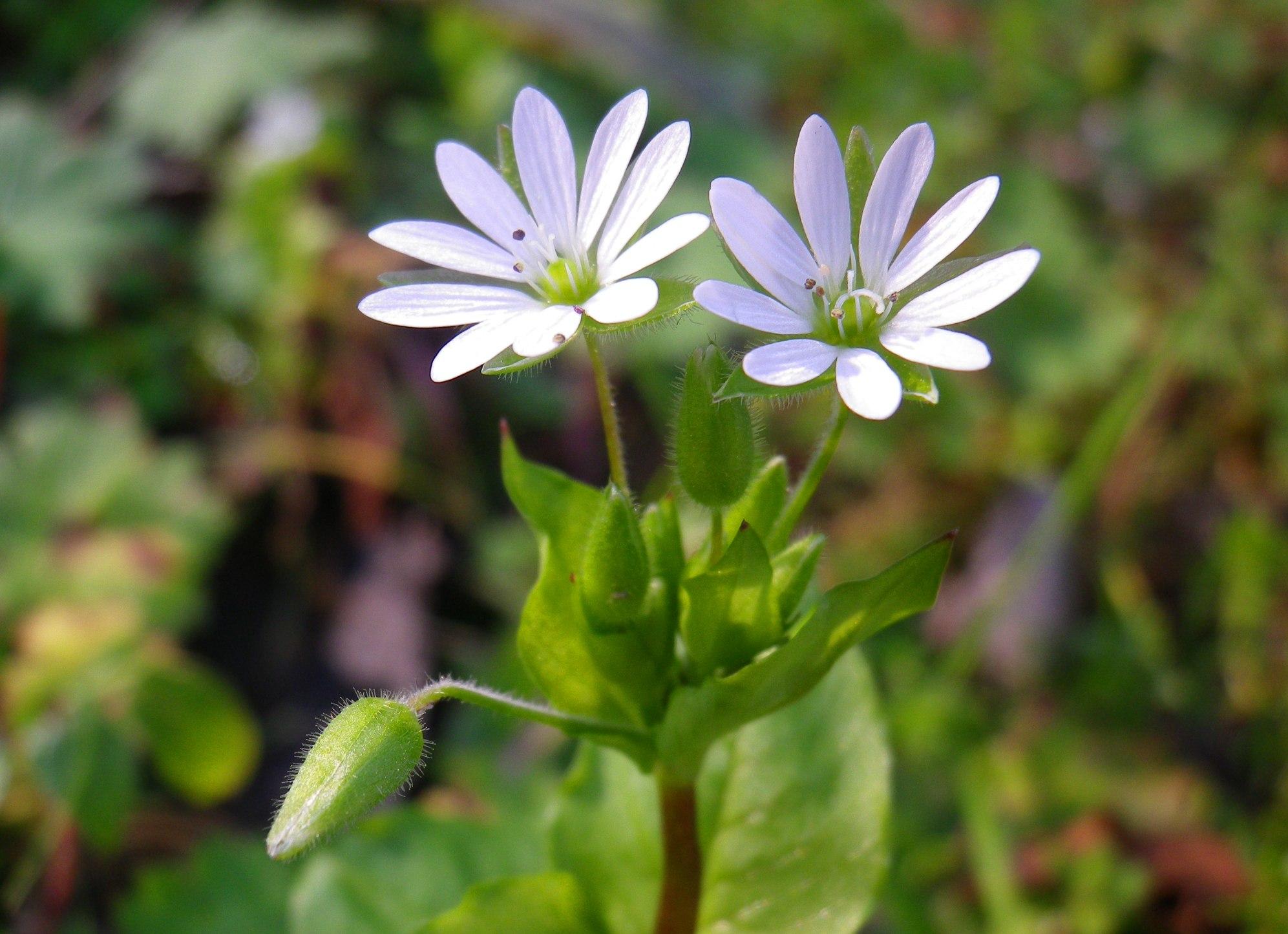 Centocchio, il fiore spione