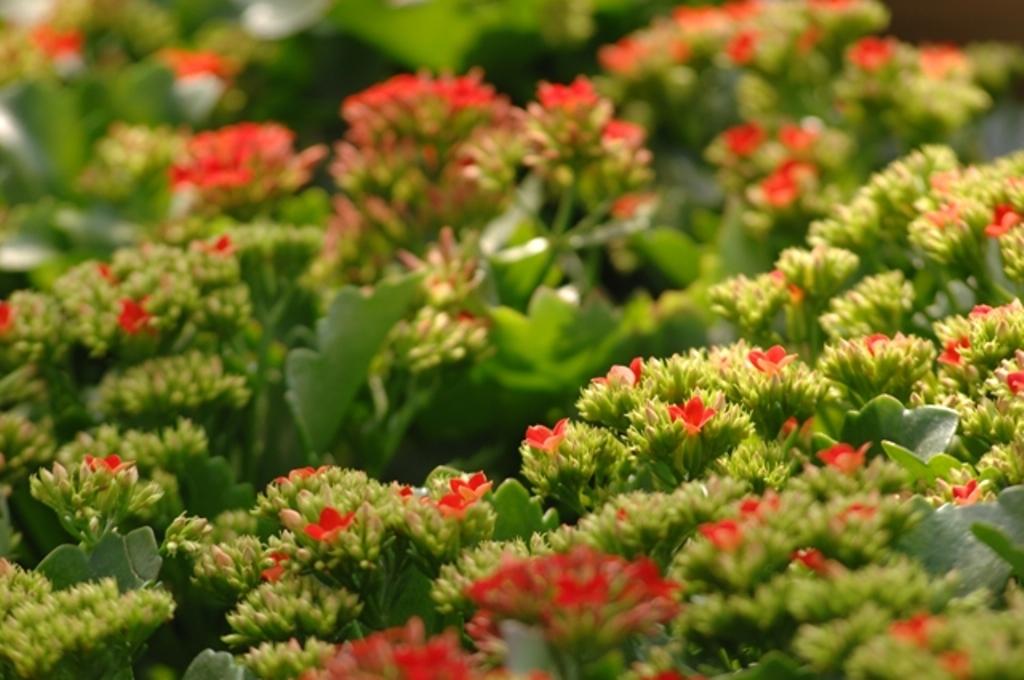 Kalanchoe Fiori Bianchi.Kalanchoe Blossfeldiana Viridea