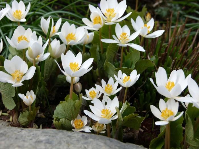 Sanguinaria canadensis 'Flore pleno'