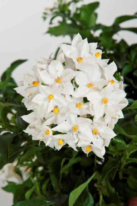 Piante Fiori Bianchi Piccoli.Solanum Jasminoides Viridea