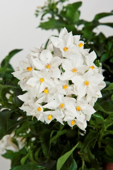 Solanum jasminoides | VIRIDEA