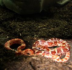 Elaphe guttata: il serpente del grano