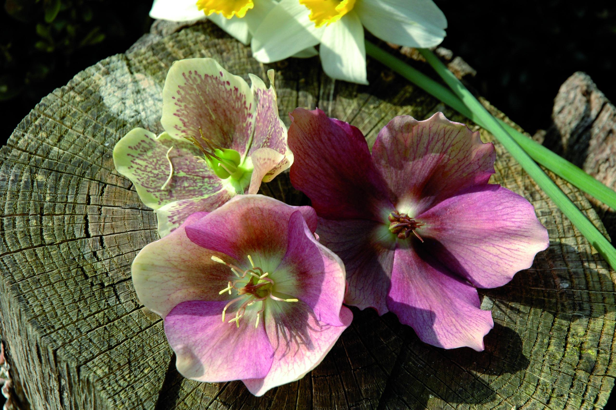 Ellebori, Stelle di Natale e altre fioriture invernali