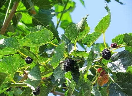 Il Gelso dai frutti bianchi e neri