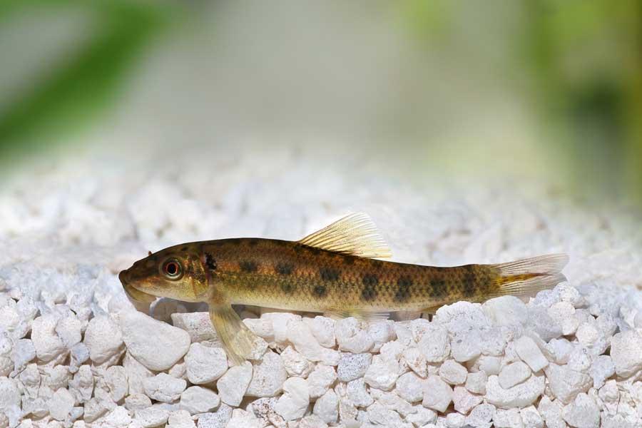 Gyrinocheilus aimonieri o pesce pulisci vetro