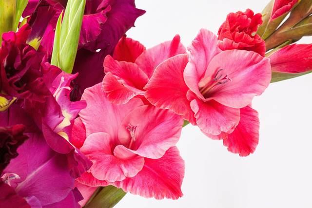 I bulbi estivi – Il Gladiolo