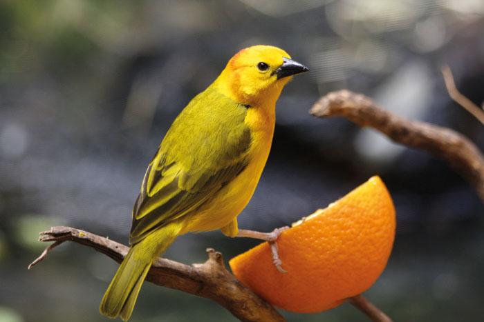 Il canarino e la sua gabbia