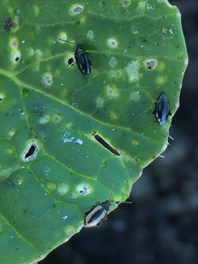L'altica, incubo delle Brassiche