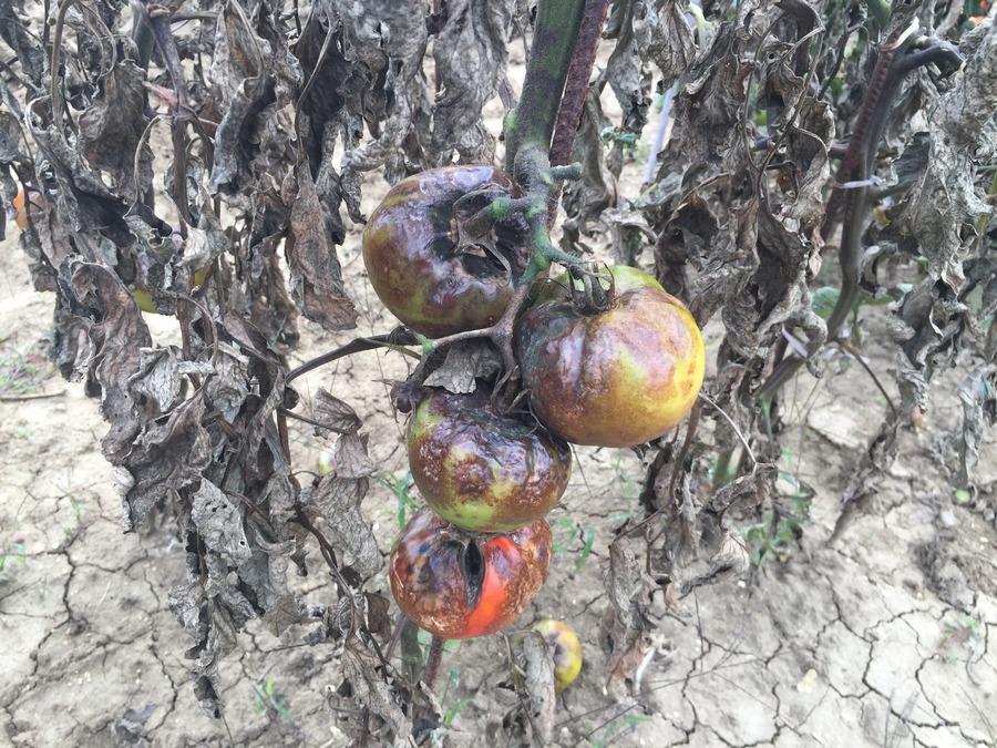 Il rame contro la peronospora del pomodoro