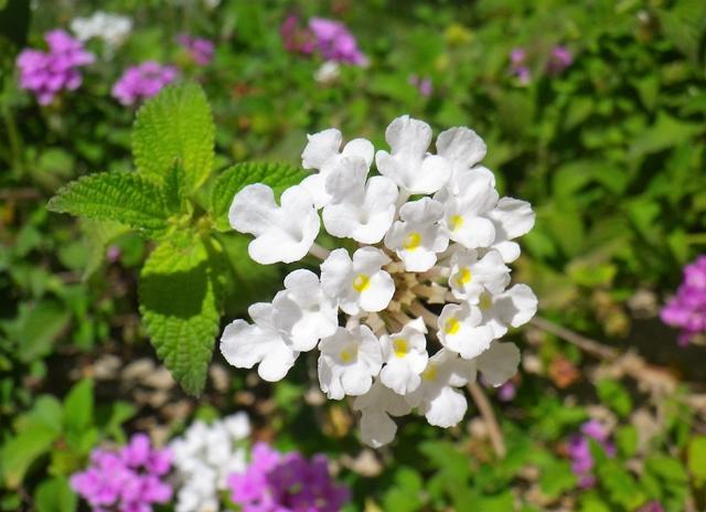 Lantana, fioritura variopinta