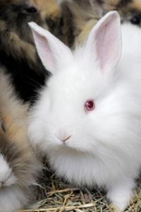 Malattie infettive del coniglio