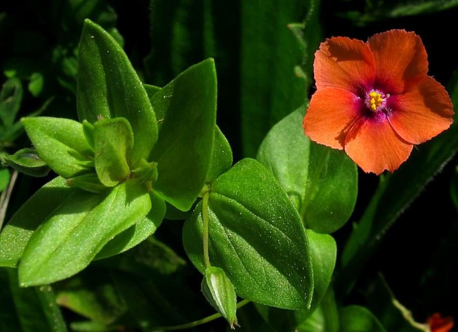 L'erba Mordigallina, graziosa ma pericolosa