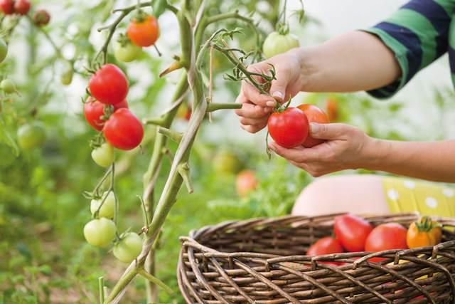 Raccogliere e conservare i prodotti dell'orto