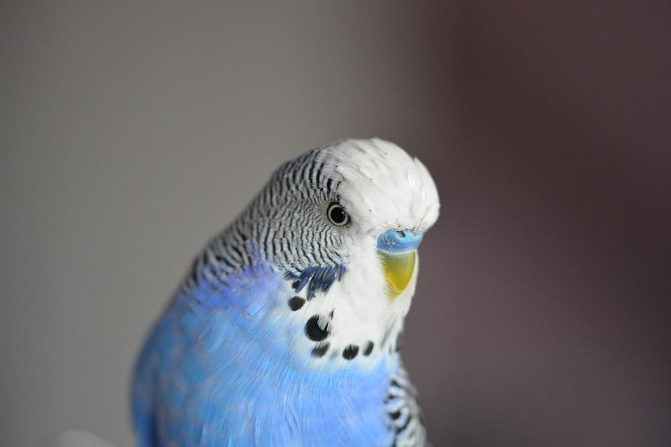"""Obblighi di legge per chi possiede uccelli iscritti al """"CITES"""""""